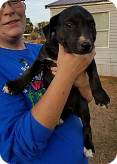 Golden Retriever/Cattle Dog Mix Puppy for adoption in Newcastle, Oklahoma - Meredith
