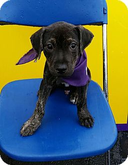 Terrier (Unknown Type, Medium) Mix Puppy for adoption in Detroit, Michigan - Basil-Adopted!