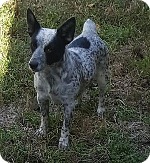 Cattle Dog Mix Dog for adoption in Mary Esther, Florida - Deeohgee