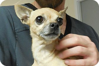 Chihuahua Dog for adoption in Salem, West Virginia - Karina