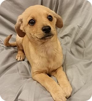 Terrier (Unknown Type, Small) Mix Puppy for adoption in Saddle Brook, New Jersey - Desmon