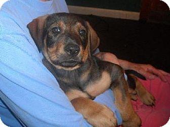 Labrador Retriever/Boxer Mix Puppy for adoption in Winfield, Pennsylvania - LaLaina