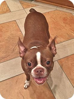 Boston Terrier Mix Dog for adoption in Courtland, Alabama - Roxie