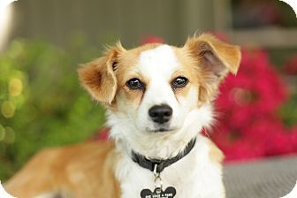 Papillon/Chihuahua Mix Puppy for adoption in West Linn, Oregon - Daisy