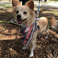 Adopt A Pet :: Bruiser - Wimberley, TX