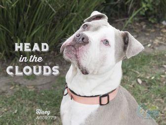 Boxer/English Bulldog Mix Dog for adoption in Camarillo, California - HUEY