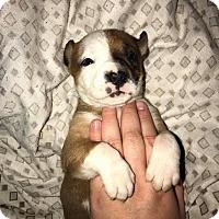 Adopt A Pet :: Quinn - Painted Post, NY