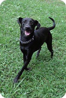 Labrador Retriever Mix Dog for adoption in Albany, New York - Daddy Long Legs is Reduced!