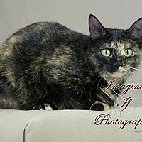 Adopt A Pet :: Tortie - Crescent, OK