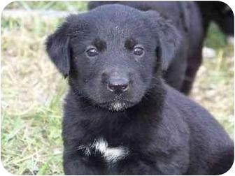 Golden Retriever Mix Puppy for adoption in Winchester, Ohio - Belle