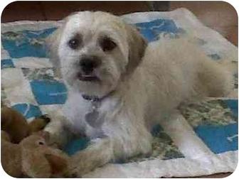 Cairn Terrier/Shih Tzu Mix Dog for adoption in Scottsdale, Arizona - Barney