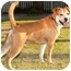 Photo 4 - Labrador Retriever/Shiba Inu Mix Dog for adoption in Marina del Rey, California - Happy