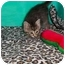 Photo 2 - Domestic Shorthair Kitten for adoption in Secaucus, New Jersey - Cheetah