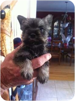 Schnauzer (Miniature) Puppy for adoption in Lonedell, Missouri - Cashew