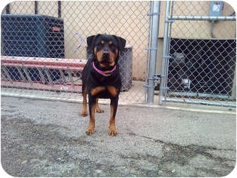 Rottweiler Mix Dog for adoption in Frederick, Pennsylvania - Weller