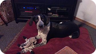 Collie/Hound (Unknown Type) Mix Dog for adoption in Bellingham, Washington - Benelli