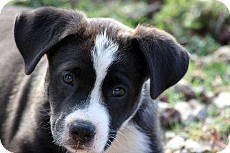 Border Collie Mix Puppy for adoption in San Pedro, California - TITUS