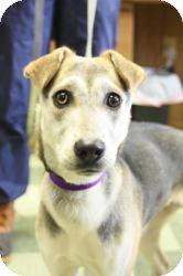 Jack Russell Terrier/Beagle Mix Dog for adoption in Dover, Ohio - Sydney