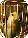 Lovebird for adoption in St. Louis, Missouri - Martha