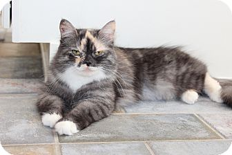 Siberian Cat for adoption in The Woodlands, Texas - Deliliah