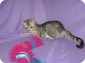 Domestic Shorthair Cat for adoption in Powell, Ohio - Tanjaneu