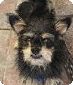 Yorkie, Yorkshire Terrier/Australian Terrier Mix Dog for adoption in Santa Ana, California - Taz