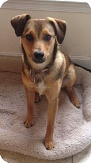 Jack Russell Terrier/Labrador Retriever Mix Dog for adoption in High View, West Virginia - Angel