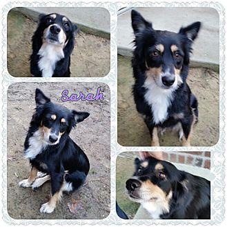 Sheltie, Shetland Sheepdog Mix Dog for adoption in Louisburg, North Carolina - Sarah