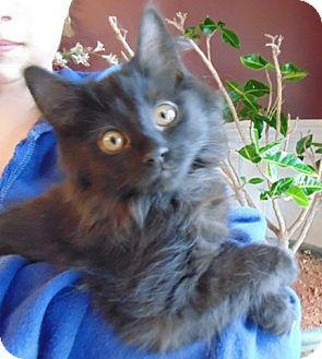 Domestic Shorthair Kitten for adoption in Homewood, Alabama - Cleo