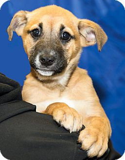 Boxer Mix Puppy for adoption in Martinsville, Indiana - Bellamy