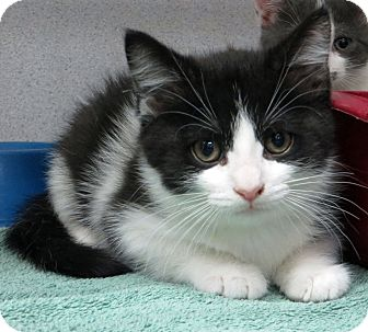 Domestic Mediumhair Kitten for adoption in Middletown, New York - Sara