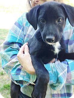 Labrador Retriever/Australian Shepherd Mix Puppy for adoption in Snohomish, Washington - Stan,loveable lab babe!
