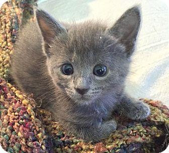 Domestic Shorthair Kitten for adoption in Richmond, Virginia - Hannah