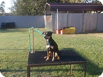 Chihuahua/Manchester Terrier Mix Dog for adoption in San Antonio, Texas - Timmy