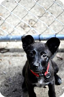 Labrador Retriever Mix Puppy for adoption in Danbury, Connecticut - Betty