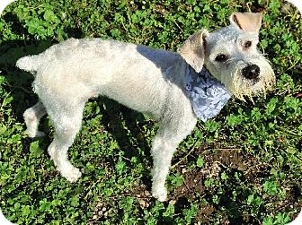 Miniature Schnauzer Puppy for adoption in Buffalo, New York - Jacob