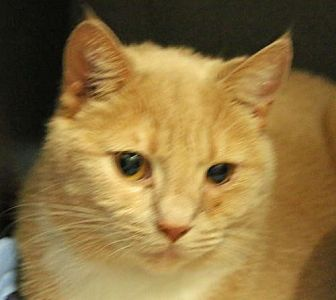 Domestic Shorthair Cat for adoption in Asheville, North Carolina - Lucy