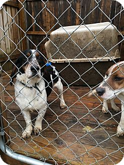 Beagle/Basset Hound Mix Dog for adoption in Staunton, Virginia - Daisy