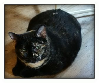 Domestic Shorthair Cat for adoption in london, Ontario - Twix