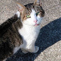 Domestic Shorthair Cat for adoption in Central Islip, New York - Tony