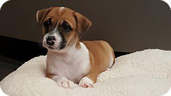 Boxer/Chihuahua Mix Puppy for adoption in Atlanta, Georgia - Reesie