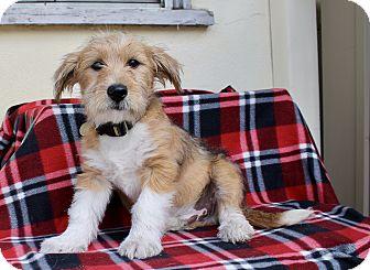 Wheaten Terrier Mix Puppy for adoption in Los Angeles, California - Phelps