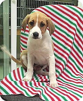 Collie/Labrador Retriever Mix Puppy for adoption in Washington, D.C. - Percy