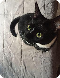 Domestic Shorthair Cat for adoption in Richmond, Virginia - Emily