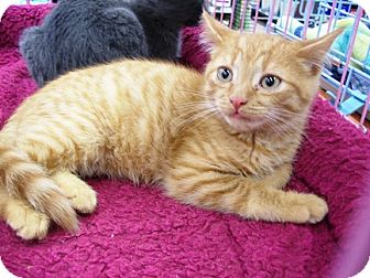 Domestic Shorthair Kitten for adoption in Castro Valley, California - Flynn