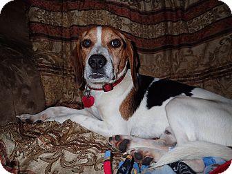 Beagle Mix Dog for adoption in North Wilkesboro, North Carolina - Scout