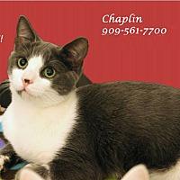 Adopt A Pet :: Chaplain - Monrovia, CA