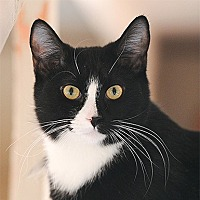 Domestic Shorthair Cat for adoption in Kanab, Utah - Derek