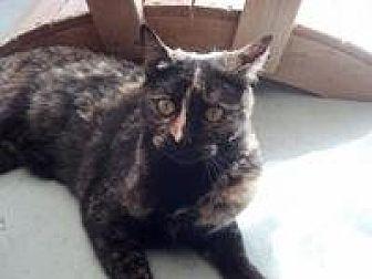 Domestic Shorthair Cat for adoption in Calimesa, California - Pistol Annie