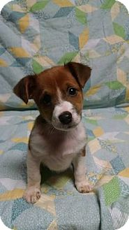Sheltie, Shetland Sheepdog/Terrier (Unknown Type, Small) Mix Puppy for adoption in Washington, D.C. - Barron